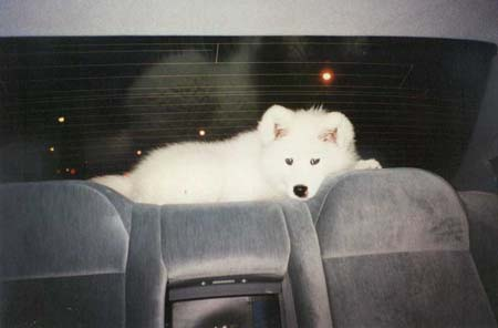 pup in car